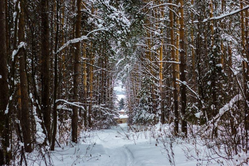 Floresta e árvores congeladas inverno imagens de stock royalty free