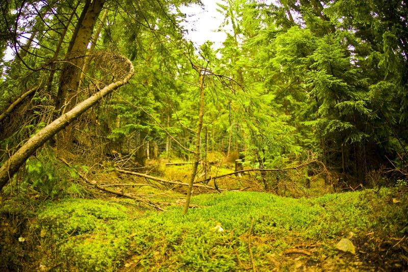 Floresta e musgo imagens de stock royalty free