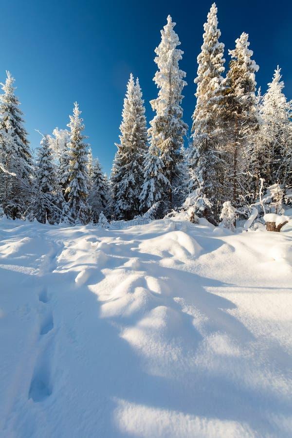 Floresta e passos do inverno na neve profunda no dia ensolarado gelado fotografia de stock royalty free