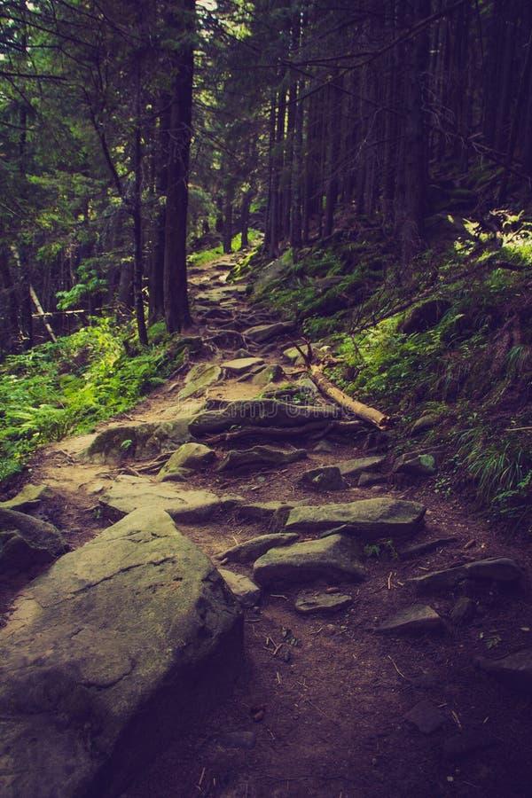 Floresta e trajeto densos da montanha entre as raizes das árvores imagens de stock