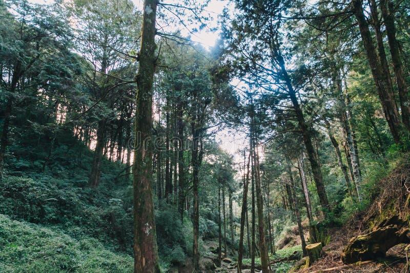 Floresta em Alishan Formosa fotos de stock