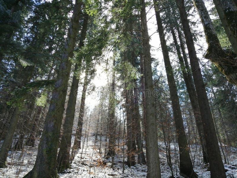 Floresta em Romênia, árvores típicas de um país frio fotos de stock royalty free