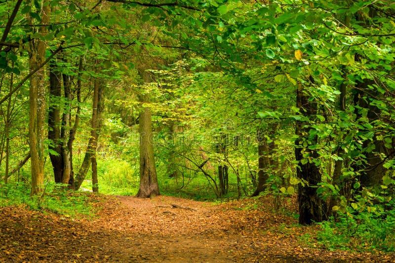 A floresta em setembro, árvores de folhas mortas grossas está imagens de stock royalty free
