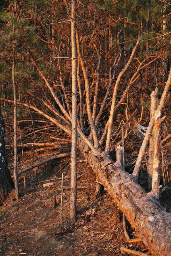 Floresta em Sibéria imagem de stock