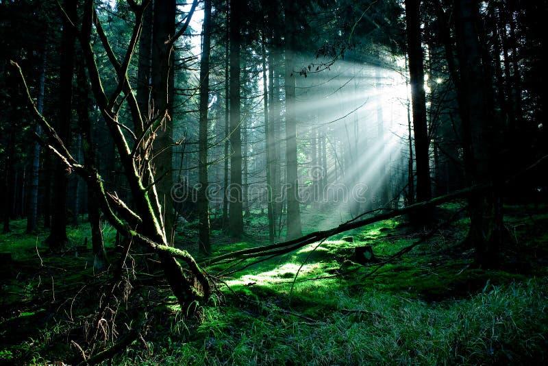 Floresta enevoada imagem de stock