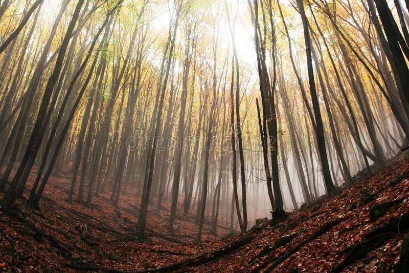 Floresta enevoada foto de stock royalty free