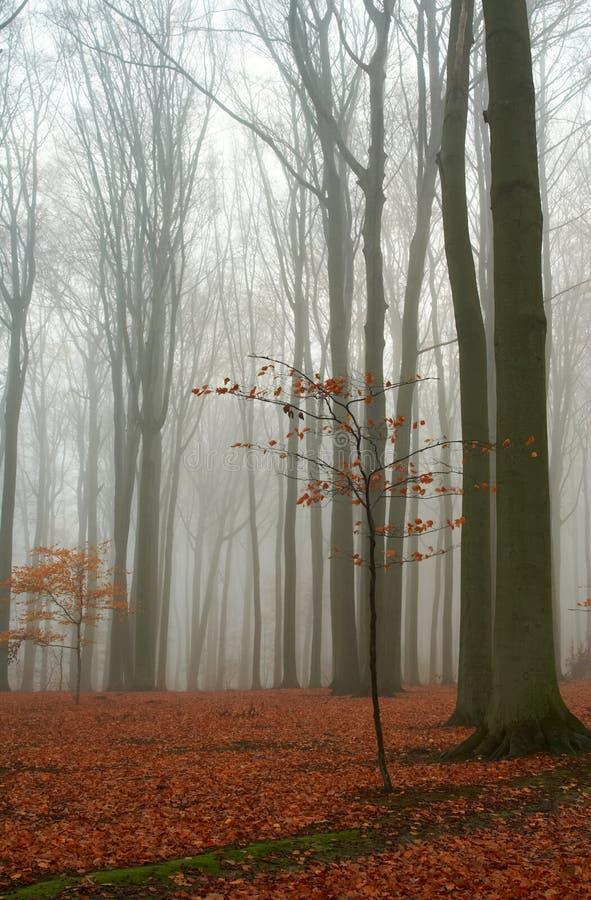 Floresta enevoada da faia do outono foto de stock royalty free