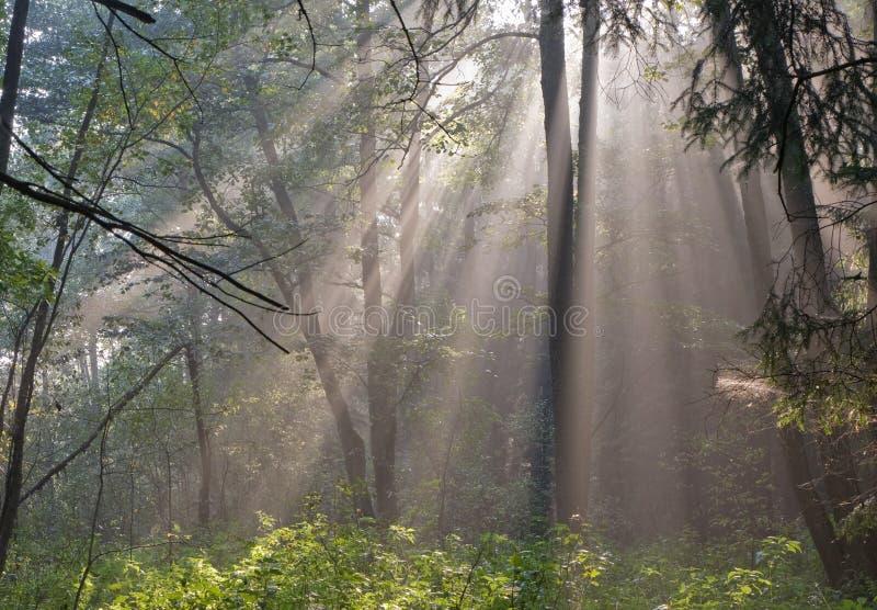 Floresta enevoada na manhã fotografia de stock royalty free