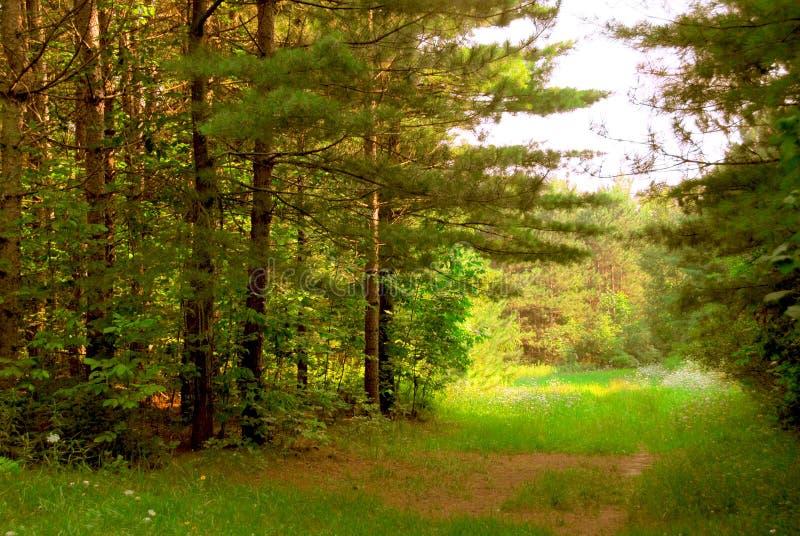 Floresta ensolarada foto de stock royalty free