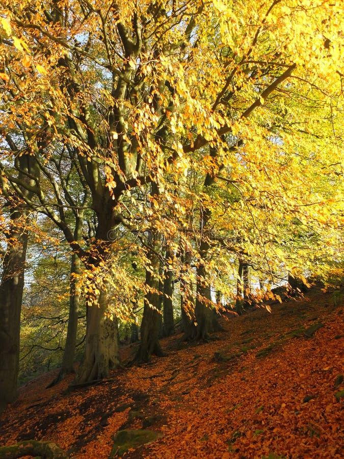 Floresta ensolarado da faia no outono com as folhas douradas de incandescência imagens de stock royalty free