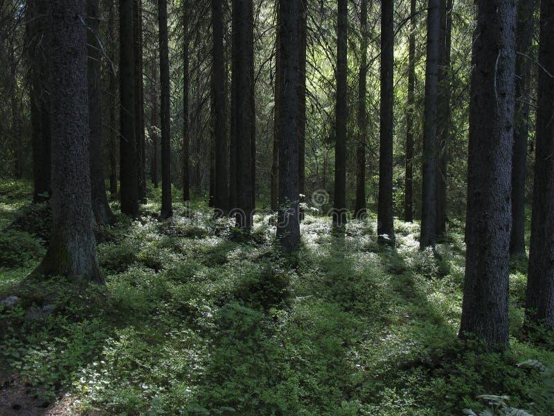 Floresta escura fotos de stock royalty free