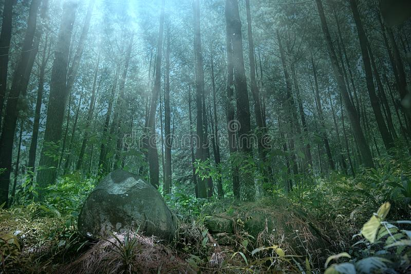 Floresta escura com neblina e árvores altas fotografia de stock royalty free