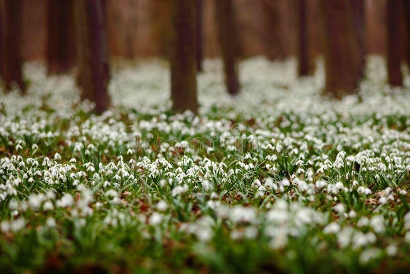 A floresta escura completamente do snowdrop floresce na estação de mola - ideia de ângulo larga da natureza com fundo extremament imagens de stock royalty free