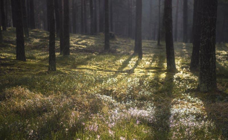 Floresta escura do pinheiro fotos de stock