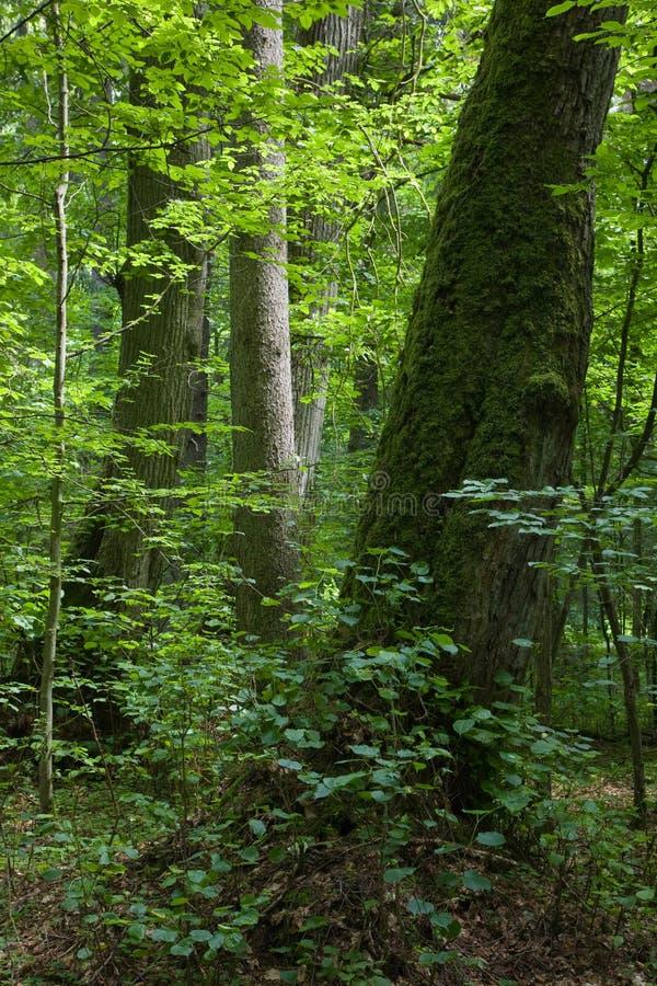 Floresta européia com a árvore de linden no primeiro plano imagem de stock royalty free