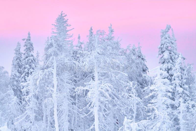 A floresta fabulosa no por do sol, tudo do inverno do Natal é coberta com a neve Pinho e árvores spruce cobertos na neve blizzard foto de stock royalty free