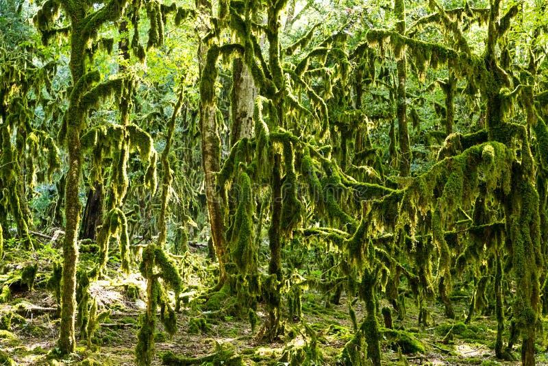 Floresta feericamente mágica, musgo de Neckera das árvores de Colchis do buxo da floresta da relíquia imagem de stock
