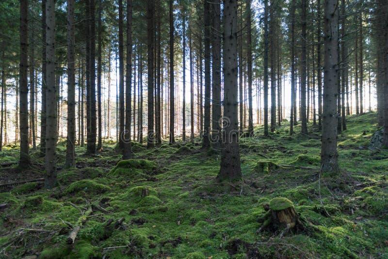Floresta feericamente musgoso fotografia de stock