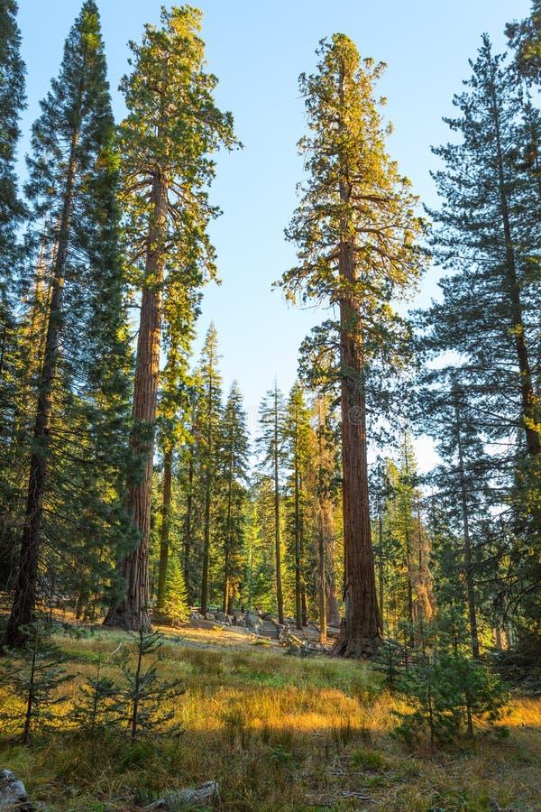 Floresta gigante nos raios do sol de ajuste, parque nacional de sequoia, Tulare County, Califórnia, Estados Unidos imagem de stock