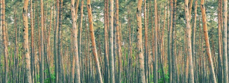 Floresta grossa do pinho foto de stock