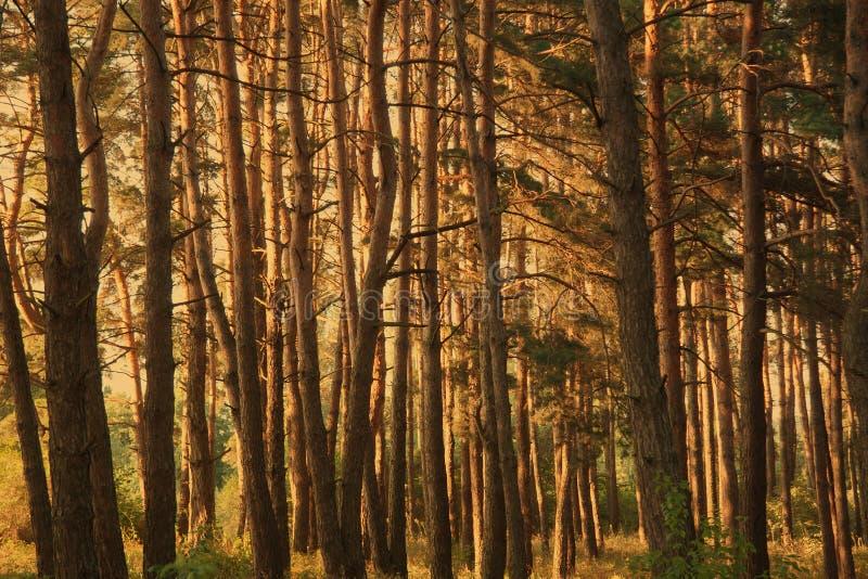 Floresta grossa do pinho imagem de stock