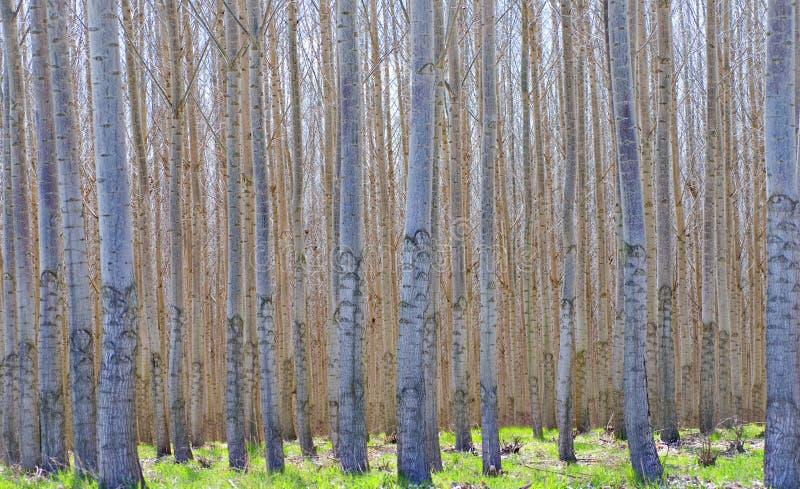 Floresta híbrida do Poplar imagens de stock