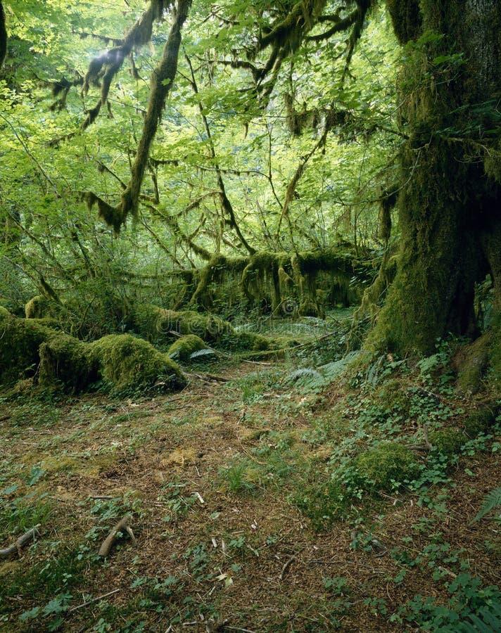 Floresta húmida de Hoh fotos de stock