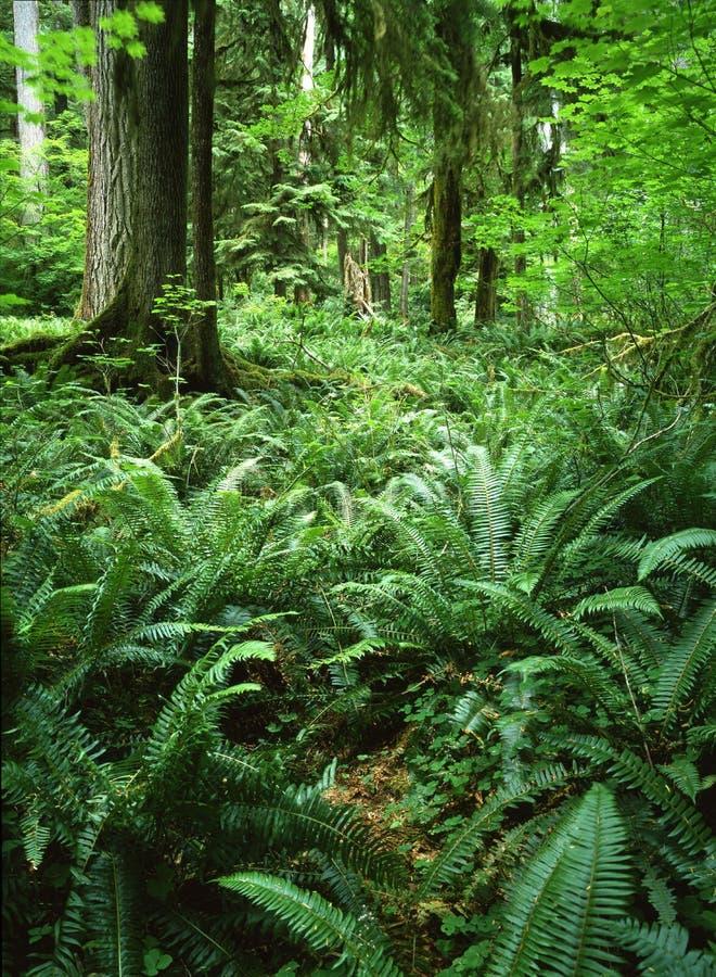 Floresta húmida, Washington imagens de stock royalty free