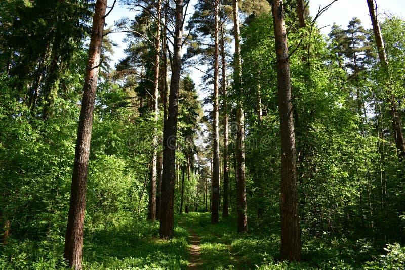 Floresta infinita do taiga de abetos e do trajeto coníferos da fuga da floresta dos pinhos fotografia de stock royalty free