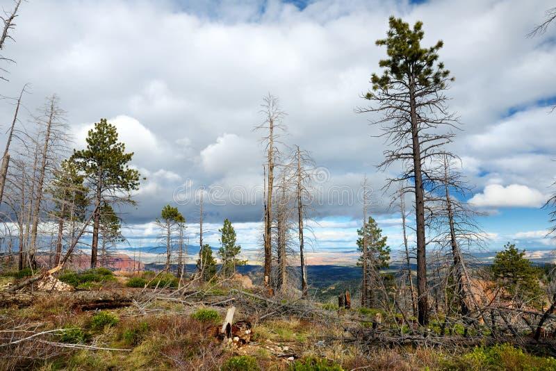 Floresta inoperante assustador da árvore em Bryce Canyon National Park imagens de stock royalty free