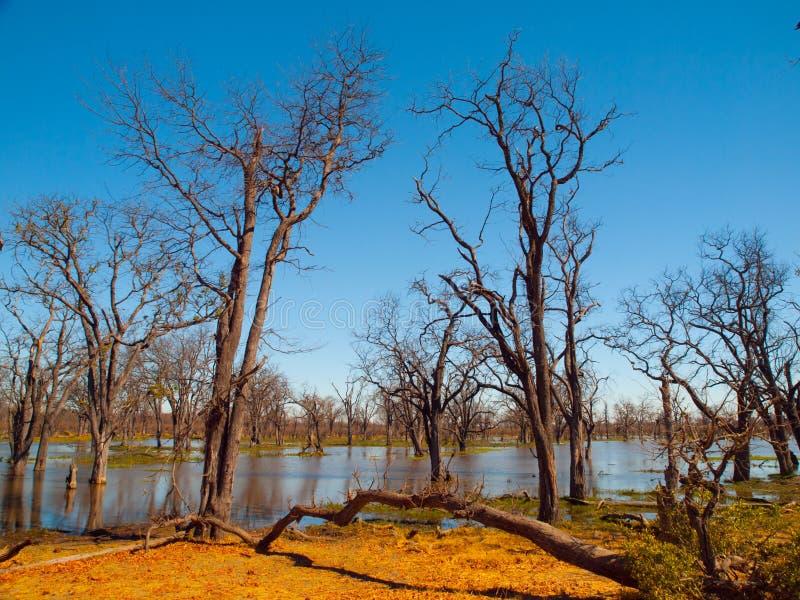 Floresta inundada no delta de Okavango foto de stock