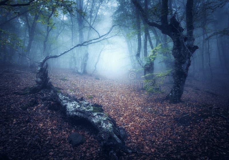 Floresta místico do outono na névoa na manhã Árvores velhas imagens de stock