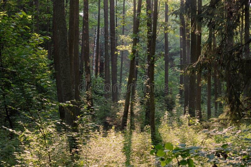 Floresta mista de Frash Alder no verão fotos de stock royalty free