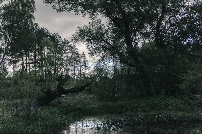 Floresta misteriosa da noite com pântano imagens de stock