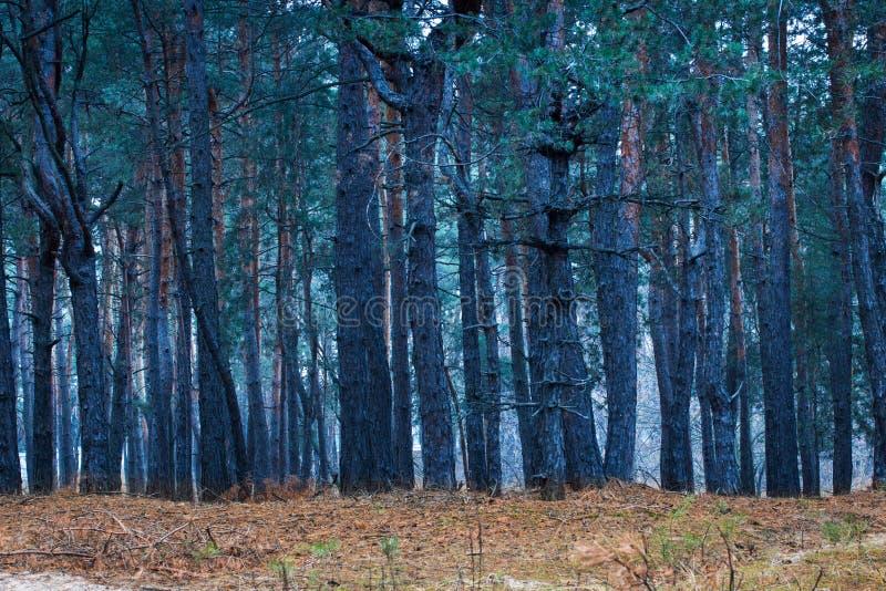 Floresta misteriosa e fantástica do pinho fotos de stock