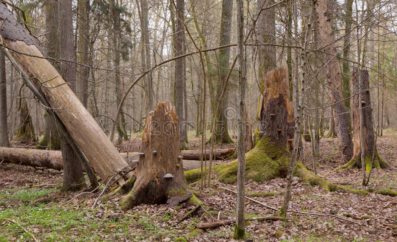 Floresta misturada molhada da primavera com as árvores spruce quebradas imagem de stock