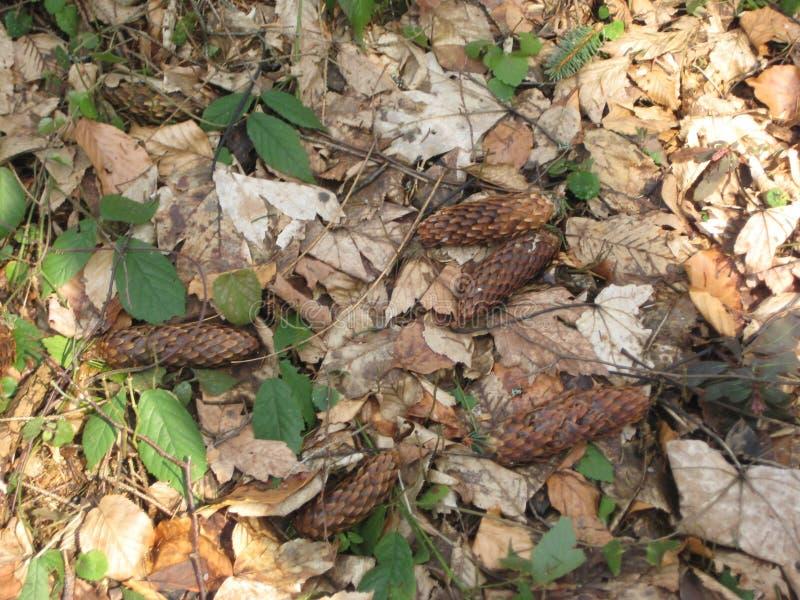 Floresta, mola adiantada, cones de abeto foto de stock royalty free