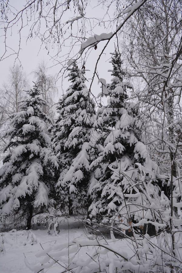 Floresta na neve Inverno em Rússia Abetos vermelhos nevados no dia nublado imagens de stock