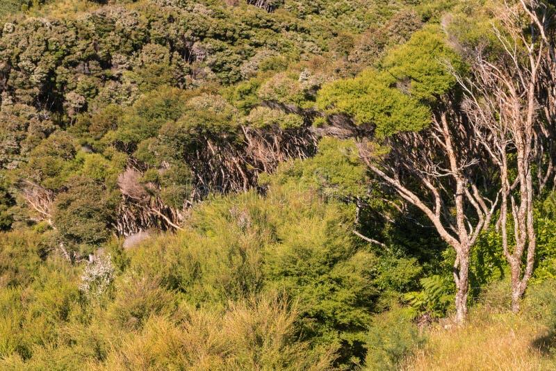 Floresta nativa da árvore do manuka de Nova Zelândia fotos de stock
