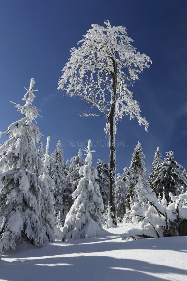 Floresta nevado com uma árvore dominante foto de stock royalty free