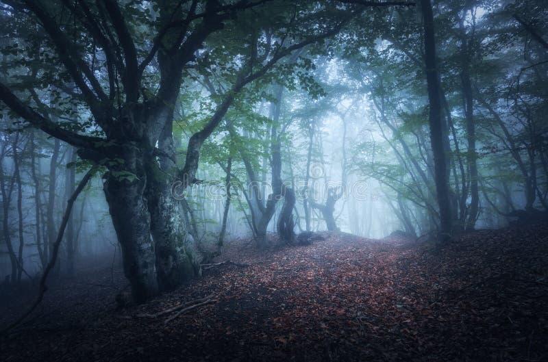 Floresta nevoenta do outono místico na manhã Árvores velhas fotos de stock