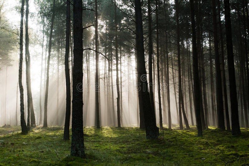 Floresta nevoenta velha enevoada
