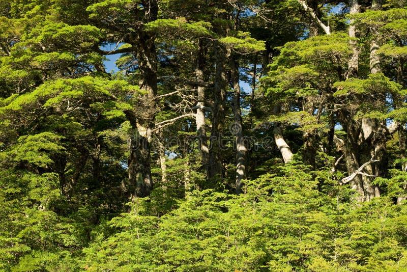 Floresta no Chile do sul fotografia de stock royalty free