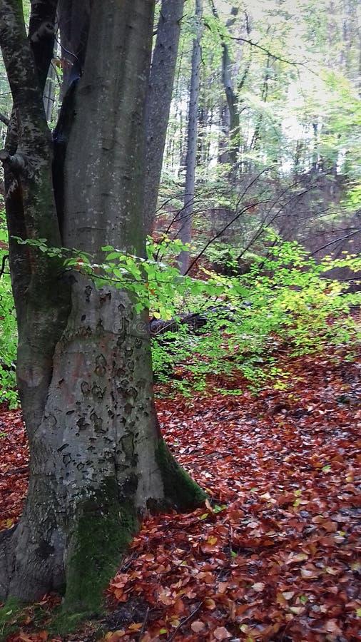 Floresta no fim do verão As folhas têm caído já As folhas são ainda verde nas árvores fotos de stock
