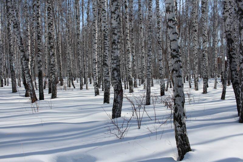 Floresta no inverno, os troncos do vidoeiro do russo de árvore na neve imagem de stock