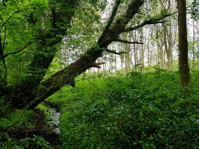 Floresta no kedleston fotos de stock