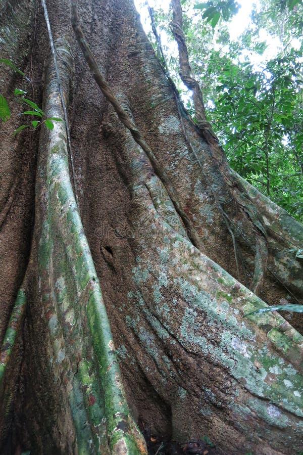 Floresta no parque nacional de Madidi, Bolívia das Amazonas imagem de stock royalty free