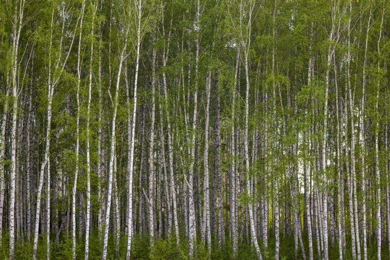 Floresta nova densa do vidoeiro com folha verde-clara imagens de stock