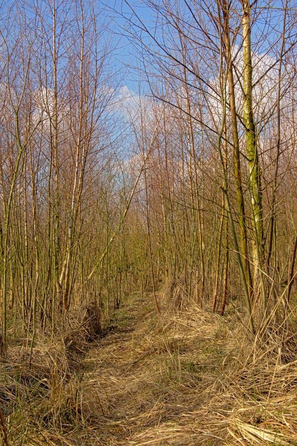 Floresta nova do vidoeiro em um dia de inverno ensolarado imagem de stock