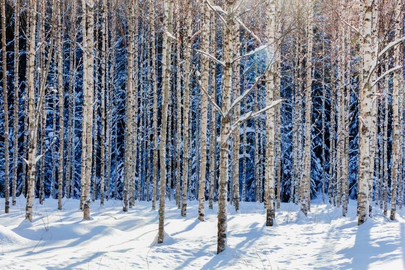 Floresta nova do vidoeiro no inverno em um dia ensolarado foto de stock royalty free